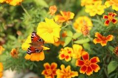 Fjärilen på blomman, fjärilen bland blommorna, guling blommar, fjärilen med brun färg Royaltyfri Bild