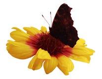 Fjärilen på blommavit isolerade bakgrund med den snabba banan closeup Inget skuggar Fotografering för Bildbyråer