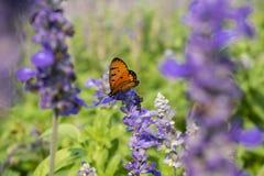 Fjärilen på lilor blommar i den suddiga bakgrunden för solljus Royaltyfria Bilder