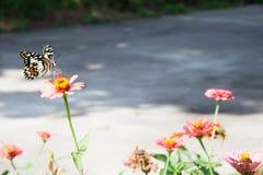 Fjärilen sätta sig på en blomma i morgonsolen Arkivbilder