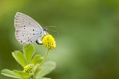 Fjärilen samlar nektar Royaltyfri Fotografi