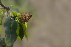 Fjärilen sitter på en äppleträdfilial royaltyfri bild