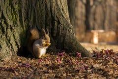 Fjärilen sitter på ett träd i förväntan av en mutter Royaltyfria Bilder