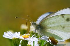 Fjärilen vilar på små vita blommor Arkivbilder