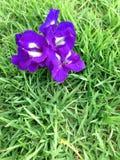 Fjärilsärta - Clitoria ternate L Royaltyfri Fotografi