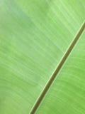 Fjärilsärta - Clitoria ternate L Arkivbilder