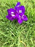 Fjärilsärta - Clitoria ternate L Royaltyfri Bild