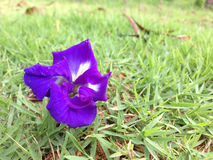 Fjärilsärta - Clitoria ternate L Fotografering för Bildbyråer