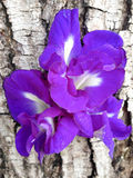 Fjärilsärta - Clitoria ternate L Royaltyfria Bilder