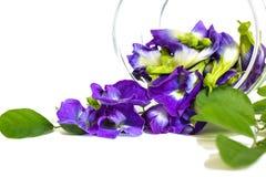 Fjärilsärta, härliga purpurfärgade blommor i en glass krus Royaltyfri Fotografi