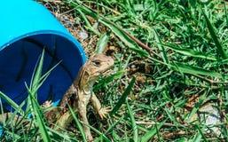 Fjärilsödlor, Liten-graderade ödlor, jordödlor, Butterf Royaltyfria Foton