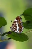 fjärilsöversikt Royaltyfri Bild