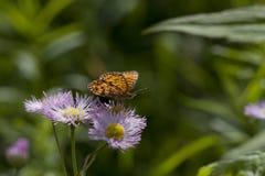 Fjärils- och asterblommor Arkivfoton