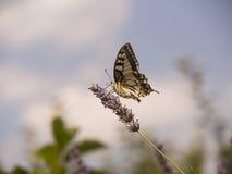Fjärils- och lavendelblomma Arkivfoto