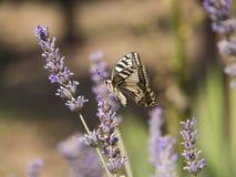 Fjärils- och lavendelblomma Royaltyfria Foton
