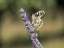 Fjärils- och lavendelblomma Fotografering för Bildbyråer