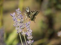 Fjärils- och lavendelblomma Arkivfoton