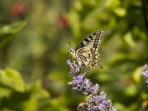 Fjärils- och lavendelblomma Royaltyfria Bilder
