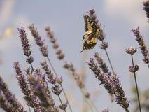 Fjärils- och lavendelblomma Arkivbild