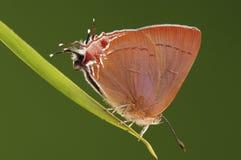 Fjärils-/Remelana jangala Arkivfoto