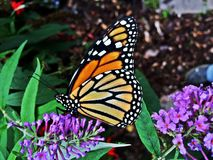 Fjärils vila Royaltyfri Fotografi