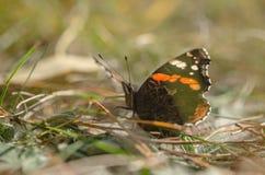 Fjärilsamiral på gräset royaltyfria bilder