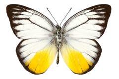 Fjärilsart Cepora judith Arkivbild