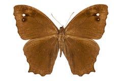 Fjärilsart Melanitis leda Fotografering för Bildbyråer