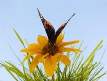 fjärilsblomma Arkivbild