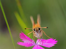 fjärilsblomma Royaltyfria Foton