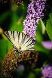 Fjärilsblomma 2 Royaltyfria Foton