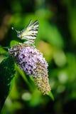 Fjärilsblomma 1 Royaltyfria Bilder