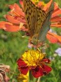 fjärilsblomma royaltyfri bild