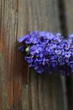 Fjärilsblomma mot det red ut wood staketet Royaltyfri Bild