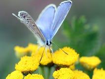 fjärilsblommakryp Royaltyfri Fotografi
