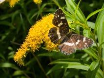 fjärilsblommamonark royaltyfria bilder