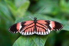 fjärilsbrevbärare Royaltyfria Bilder