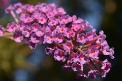 FjärilsBush blommor i sommarträdgård arkivbild