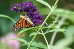 Fjärilsbuske med monarkfjärilen Arkivbild