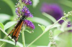Fjärilsbuske med monarkfjärilen Royaltyfri Fotografi