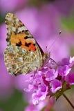 fjärilscarduivanessa Arkivfoto
