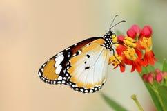 fjärilschrysippusdanaus royaltyfri bild