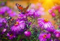 Fjärilscloseup på en lös blomma bakgrundsgreen låter vara lönnnatursommar våt royaltyfria foton