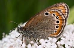FjärilsCoenonympha leander Arkivbild