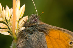 FjärilsCoenonympha Pamphilus sammanträde på ett grässtrå Royaltyfri Bild