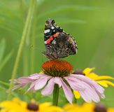 fjärilsconeflowermellanmål Royaltyfri Foto