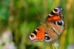 Fjärilsdagpåfågel Arkivbilder