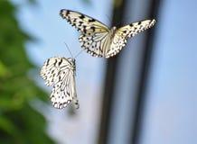 Fjärilsdans royaltyfri bild