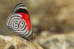 fjärilsdiaethria också kallade 88 arkivbilder