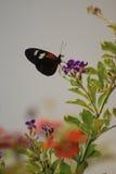 fjärilsdoris som longwing arkivbild